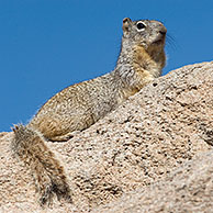 Rock Squirrel (Spermophilus variegatus) Arizona, USA
